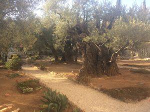 Dessa olivträd omnämns i bibeln som den plats där Jesus fängslades. Otroligt.